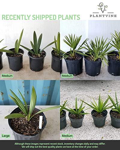 PlantVine Sabal Minor, Dwarf Blue-stem Palmetto - Large - 8-10 Inch Pot (3 Gallon), Live Plant - 4 Pack by PlantVine (Image #4)