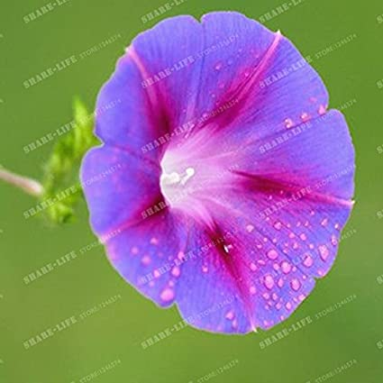 Amazon com: 50 Seeds Seeds Morning Glory Seeds Pharbitis