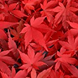 Red Maple Tree (3-4 feet tall in full gallon containers) Fast growing Acer rubrum