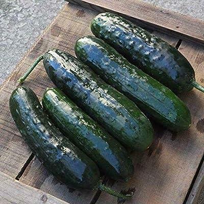 AchmadAnam - 50 Seeds Rockingham F1 Cucumber : Garden & Outdoor