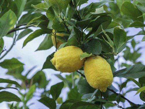 Mother's Day Meyer Lemon Gift Tree by The Magnolia Company - Get Fruit 1st Year, Dwarf Fruit Tree with Juicy Sweet Lemons, No Ship to TX, LA, AZ and CA by The Magnolia Company (Image #5)