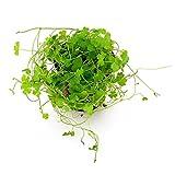 500 Premium Organic Centella Asiatica - Rau Ma - Pennywort - Gotu Kola - Seeds by Happy Seeds & Garden