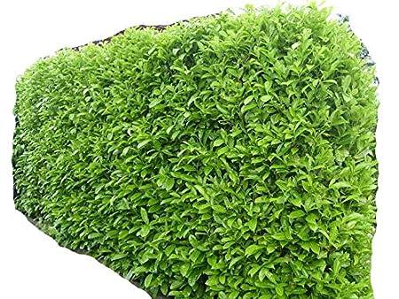 Siepi Da Giardino Prezzi : Siepi da giardino in vaso piante da siepe in vaso sempreverdi one