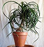 Elephants Foot, Ponytail Palm - 6 Seeds - Organically Grown - NON-GMO