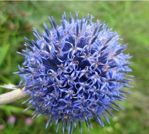 SD1500-0329 Echinops Flower Seeds, Light Rare Blue Color Ball, Non-Genetically Modified Seeds (30 Seeds)