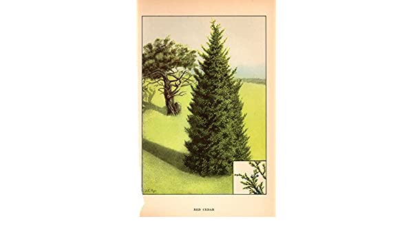 "1926 Vintage TREES /""RED CEDAR/"" GORGEOUS COLOR Art Print Lithograph"
