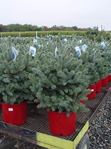 Picea pungens 'Baby Blue' (Baby Blue Blue Spruce) Evergreen, 3 - Size Container by Green Promise Farms (Image #2)