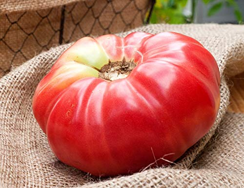 (German Queen Heirloom Tomato Premium Seed Packet)