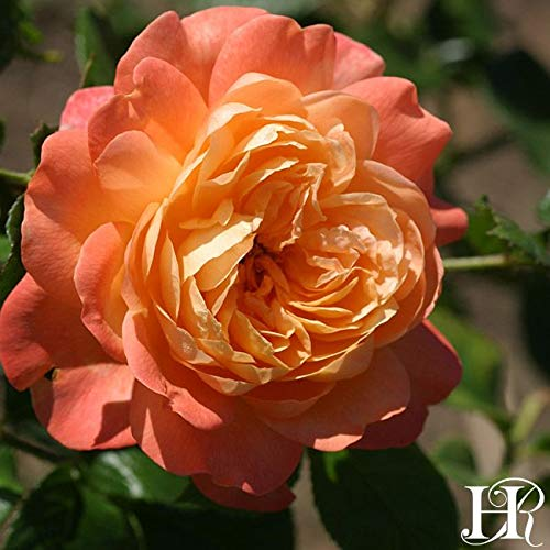 Own-Root One Gallon Lawrence of Arabia English Legend Rose by Heirloom Roses