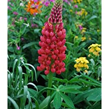 Superior Lupin Seeds Promotion!!! 24 Types 500pcs Rare Fower Seeds for Garden Home & Garden Flores indoor Plants