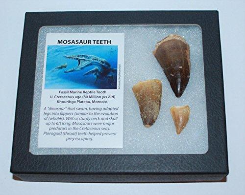 - Mosasaur Tooth Fossils (3 Teeth) Dinosaur Age w/Display Box LDB & COA #22