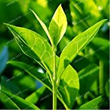 New New Crop Chinese Green Tea Tree 10+ Seeds - Camellia sinensis