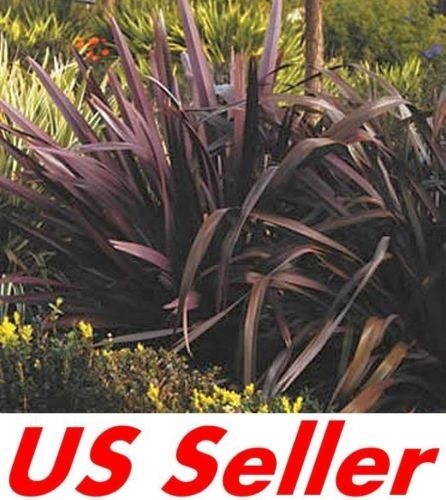 Phormium Purpureum Ornamental Grass Seeds T43, New Zealand Flax 15 Seeds