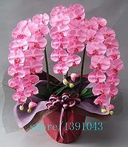 100pcs de orquídeas, las semillas de orquídea, orquídea Phalaenopsis, bonsai semillas de flores hidropónicas para cuatro estaciones, plantas en macetas para el jardín de