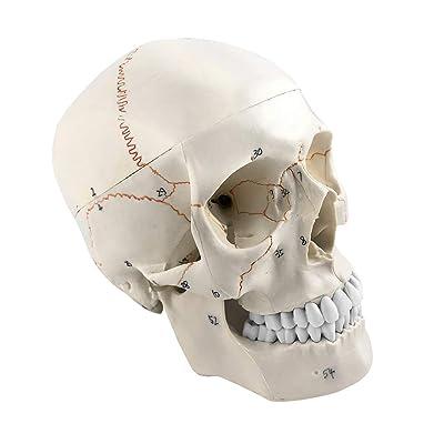 Winyousk Human Skull Anatomical Model Full Set of Teeth Human ...
