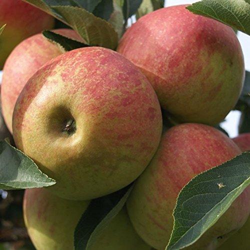 Elstar, Winter- Apfel Buschbaum, aromatisch ca.120-150 cm im 10 Liter Topf, M 26