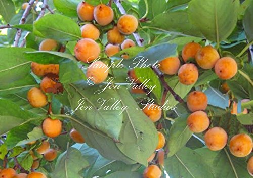 Diospyros melanoxylon 7 seeds East Indian Ebony Coromandel Tropical Plant -Tree seeds RARE type of Persimmon mauve Flowers Orange - Slender Ebony