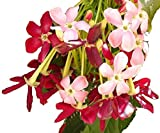 RANGOON CREEPER Single Flower Pink Red Exotic Fragrant Tropical Live Vine Plant Chinese Honeysuckle Starter Size 4 Inch Pot Emeralds Tm