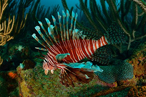 lionfish-swimming-in-the-caribbean-sea-photo-art-print-poster-18x12