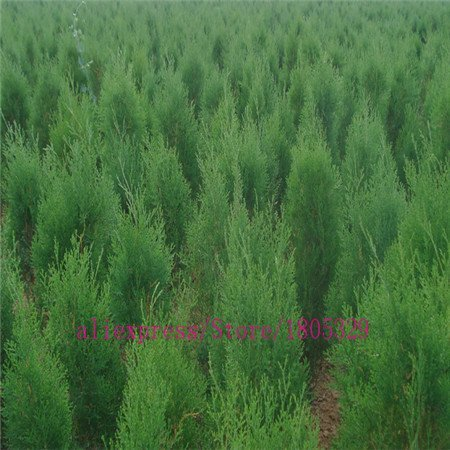 rare tree seed 30 ITALIAN CYPRESS (Cupressus sempervirens )Tree,bonsai tree for flower pot planters