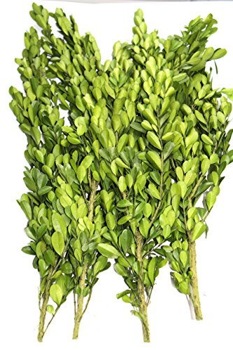 Preserved real boxwood branches - 15 to 18 inches - bunch of 4 branches (Preserved Greens)