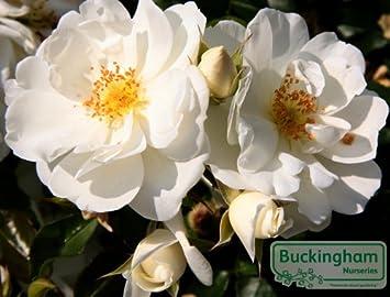 Rose flower carpet white amazon garden outdoors rose flower carpet white mightylinksfo