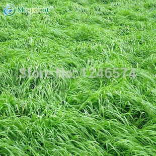 200 Seeds ryegrass seeds Lolium perenne seeds feed to animal and beautify the environment #32304140161ST