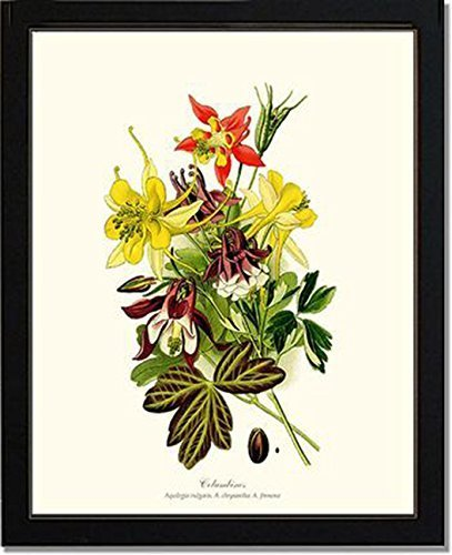 (Vintage Botanical Flower Art Print: Columbines)