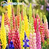 100pcs mixed Russell Lupine Seeds Lupinus Polyphyllus Flower Seed Bonsai Plants For Garden Wholesale Price