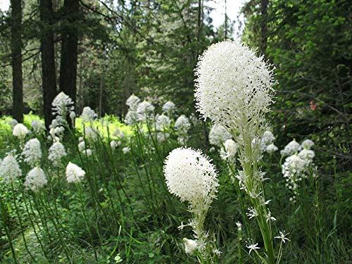 (258 Seeds of Xerophyllum tenax, Bear Grass, Common Beargrass, Squaw Grass, Soap Grass, Quip-Quip, Indian Basket Grass, Bear Lily, Pine Lily, Western Turkeybeard, Elk Grass)