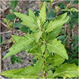 David's Garden Seeds Herb Anise Hyssop SL933KL (Purple) 500 Open Pollinated Seeds