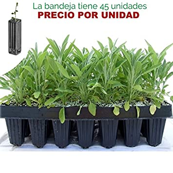 Salvia officinalis - Salvia común