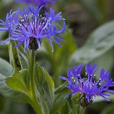 Perennial Cornflower Seeds - Montana, Mountain Bluet or Mountain Cornflower ! (25 Seeds) : Garden & Outdoor