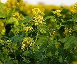 1000 Seeds of Sinapis Alba - Mustard / Sinapis alba