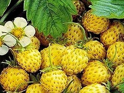 Strawberry Seeds Golden dessert from Ukraine