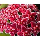 Hoya carnosa red - Porzellanblume - Wachsblume - 10 Samen