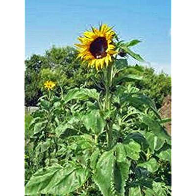 Sunflower, Mammoth Grey Stripe 25+ Seeds Organic Newly Harvested, 8-12 Foot Tall : Garden & Outdoor