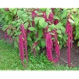 Roter Garten-Fuchsschwanz - Amaranthus caudatus - 500 Samen