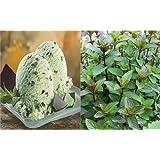 HEIRLOOM NON GMO Chocolate Mint 50 seeds (Smells like Choc. Mint Ice Cream)