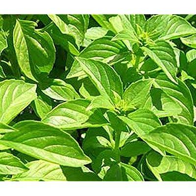 Lemon Basil Seeds (25 Seeds) : Garden & Outdoor