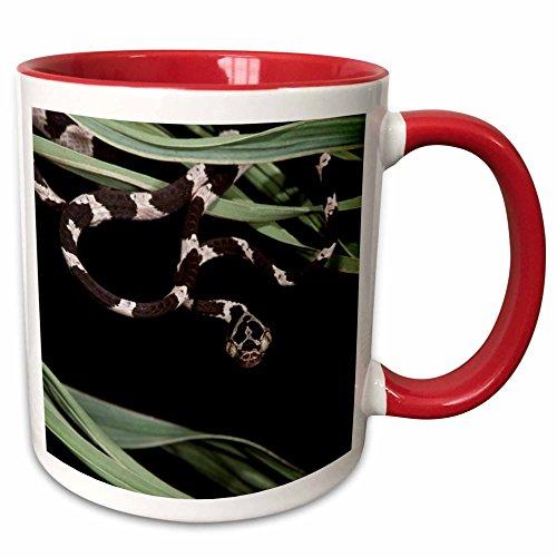 3dRose Danita Delimont - Snakes - Cat eyed Snake Juvenile, Yasuni, Amazon Rainforest, Ecuador. - 15oz Two-Tone Red Mug (mug_228843_10) ()