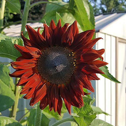 Red sunflower seeds to plant