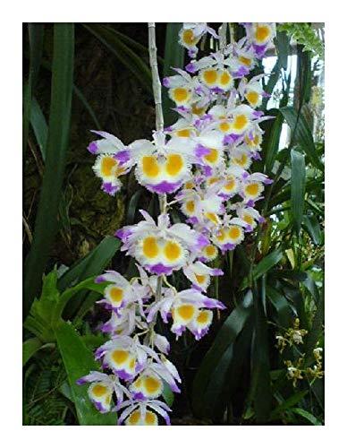 - Dendrobium wardianum - orchids - 100 seeds