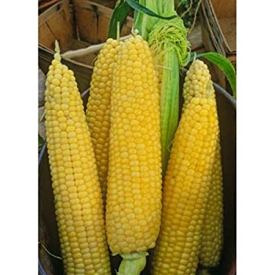 1/4 Pound Hybrid Sweet Corn Seed Funks G90 Golden Cross Korn : Garden & Outdoor