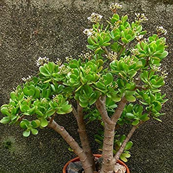 'gollum Teile beutel Oblique Pflanzen Laub Fash Samen Miniatur Sukkulenten Innen Crassula Topfpflanze Ovata 20 Lady FwWtHtq8E