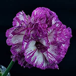 Carnation Flower Seeds Beautiful Lovely Flowers Seed 200 Seeds (Item No: 10)
