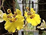 Andy`s Orchids - Oncidium (Tolumnia) guibertiana - Orchid Plant - Miniature - Indigenous to Cuba