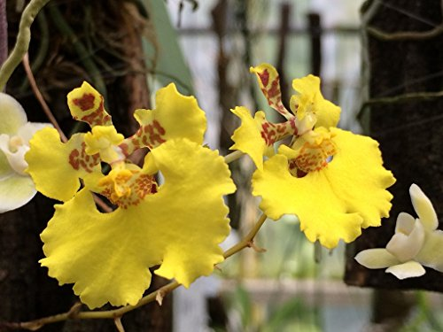 Oncidium (Tolumnia) guibertiana - Orchid Plant - Miniature - indigenous to - Care Orchid Oncidium