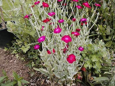 Rose Campion Seeds 200 Seeds!