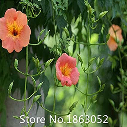 Amazon com : Garden Plant Promotion! 200 seeds / pack, Purple